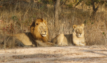 Lions in Kafue NP