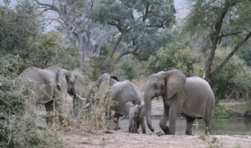 Elephants in Lower Zambezi