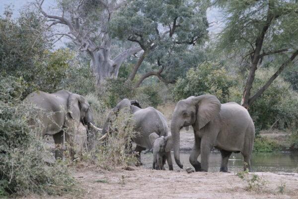 Elephants in Lower Zambezi