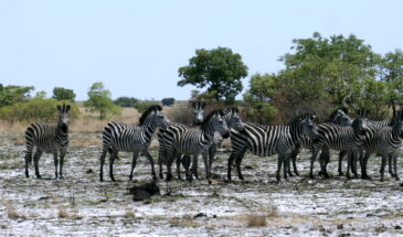 Burchells Zebras in Liuwa Plain NP