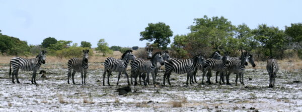 Burchell's Zebras in Liuwa Plain NP