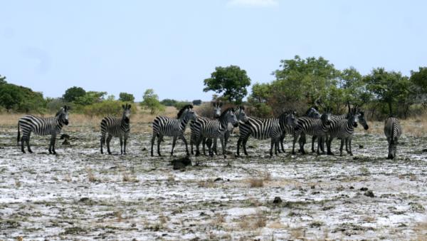 Burchell's Zebra in Liuwa Plain NP
