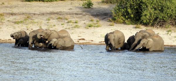 Elephants in Chobe NP