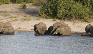 Elephants in Chobe NP