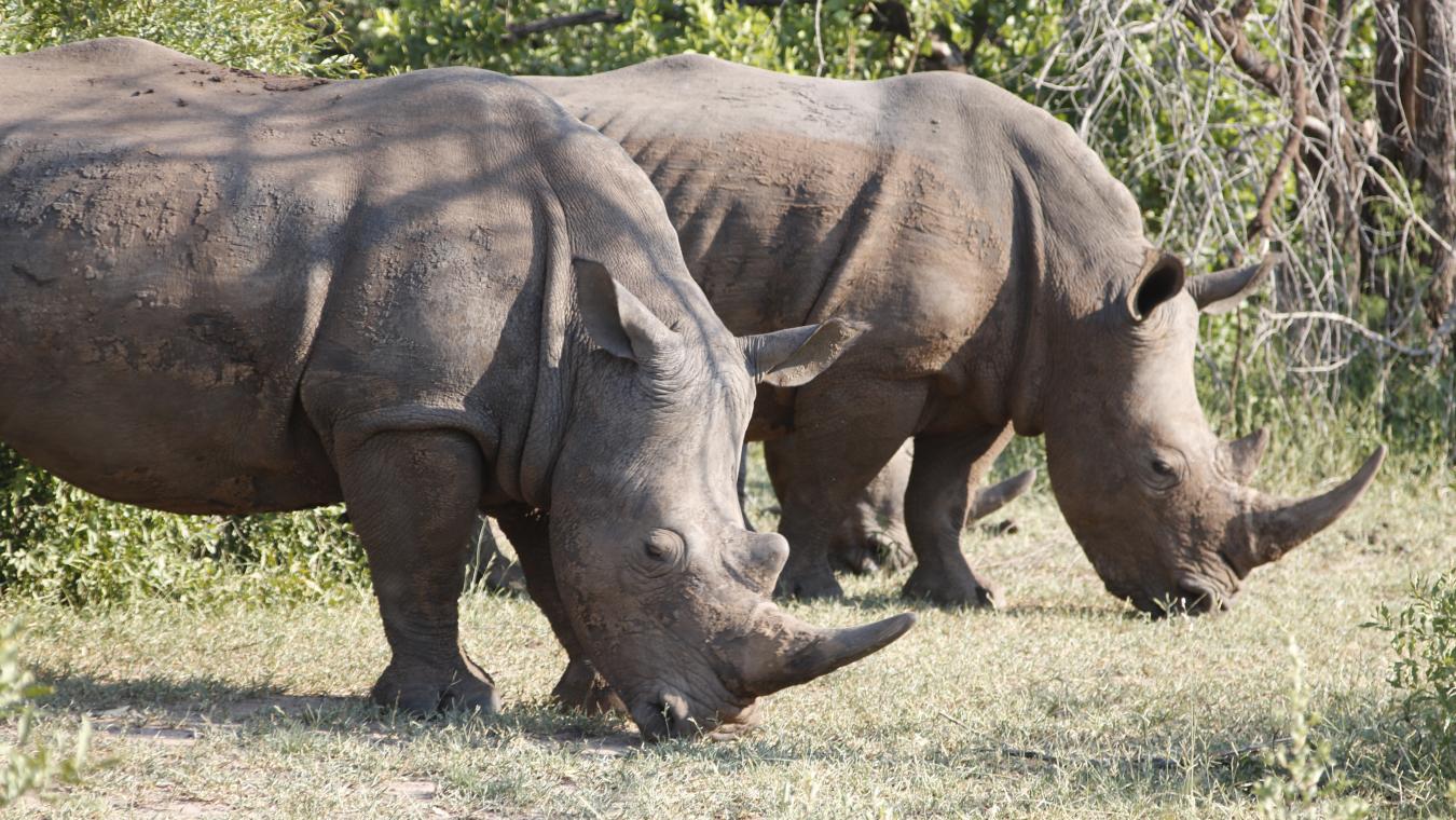 Square-lipped Rhinoceros in Mosi-oa-Tunya NP