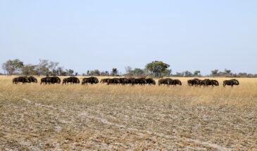 Wildebeest - Liuwa