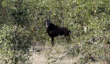 Sable antelope - Kafue