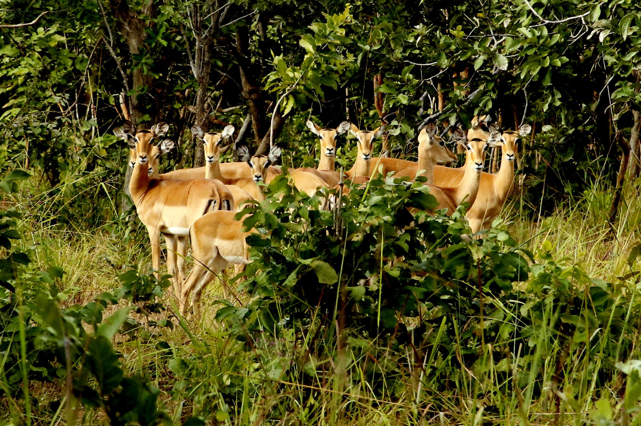 6-Day Mpala Safari - Curious Impala